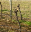 Vines with arms and cordon wire removed