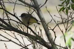 Eastern Yellow Wren