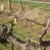 New growth on the Chardonnay vines
