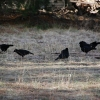 Currawongs take a break