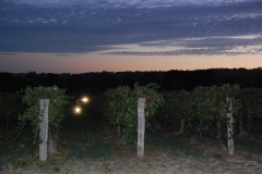 Removing the grapes pre-dawn