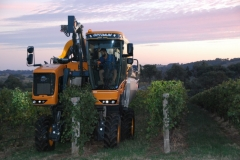 Taking of the Shiraz and Merlot Grapes