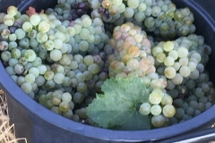 Arneis Grapes