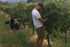Hand-picking the Arneis grapes