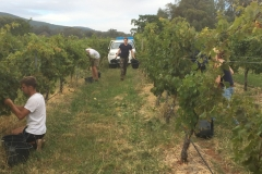 Our French pickers doing a marvellous job