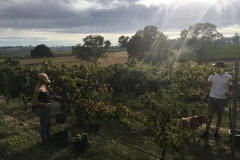 A beautiful morning to be in the vineyard