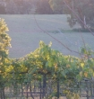 Setting sun on the Shiraz vines looking down to the Lachlan River