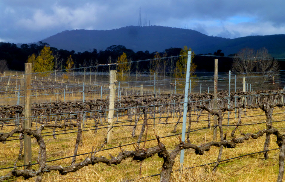 A view of Mt Canobolas from the vineyard