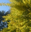 A closer look at the Wattles exploding with colour
