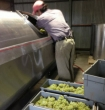 Will R-B. checks the Chardonnay grapes in the crusher
