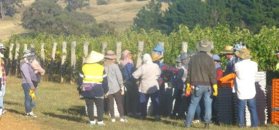 Gewurztraminer Harvest