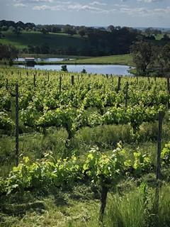 Green vineyard Dec 2020