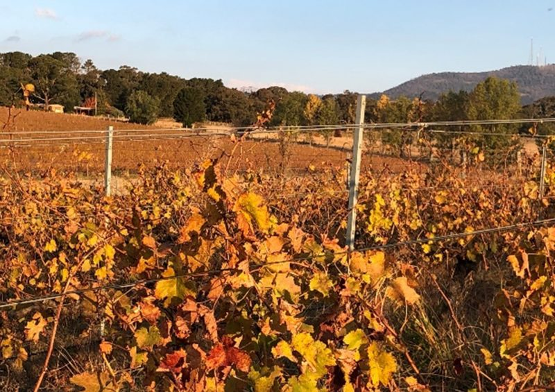 Looking across the golden Autumn leaves of the vineyard to the house and cellar door on the left and Mt Canobolas on the right.
